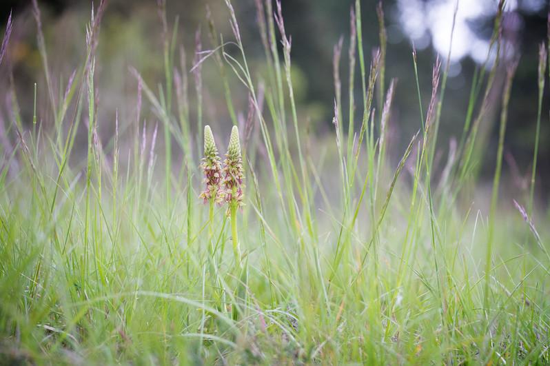 Orchis anthropophora. Orchis homme pendu. Man orchid. Aude 02/05/19