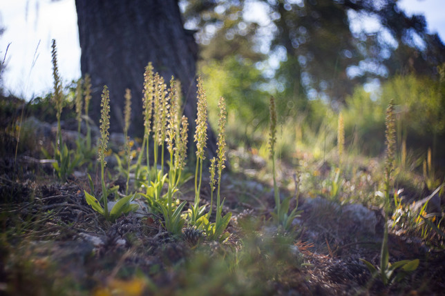 Orchis anthropophora. Orchis homme pendu. Man orchid. Essonne 18/05/20