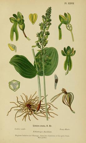 Listera ovata. Listère ovale. Common twayblade. Album des orchidées d'Europe Correvon 1899