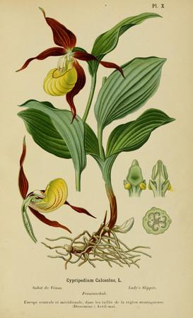 Cypripedium calceolus. Sabot de Venus. Lady's slipper. Album des orchidées d'Europe. Correvon 1899