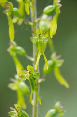 Listera ovata. Listère ovale. Common twayblade. Essonne 21/05/18
