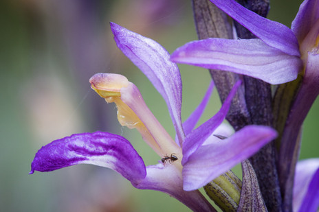 Limodorum abortivum. Limodore à feuilles avortées. Violet limodore. Aveyron 27/05/18