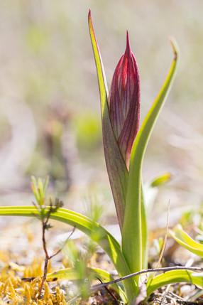 Serapias lingua. Serapias en langue. Tongue orchid. Aude 30/04/19