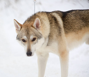 Tamaskan dog Oslett