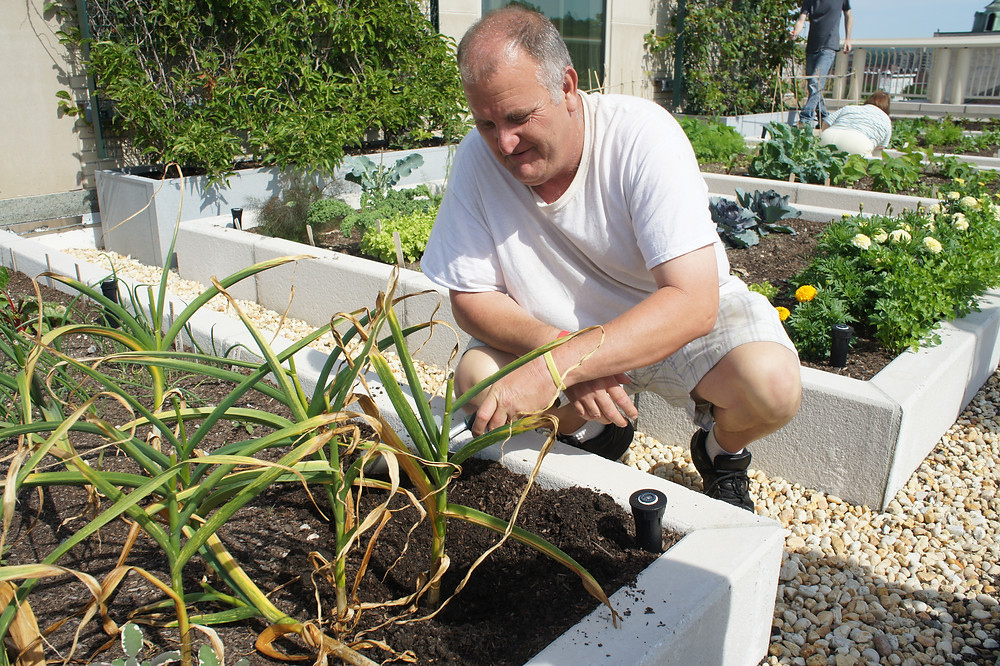 A man bending in front of a garden bed tending to plants.