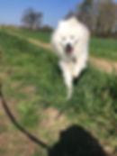 Dog Walking Samoyed
