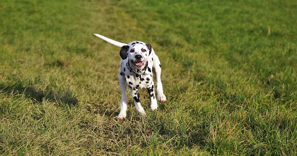 Dog Walking Wrexham