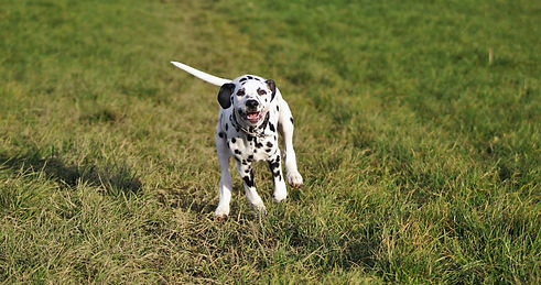 Dalmatian puppy running in a field
