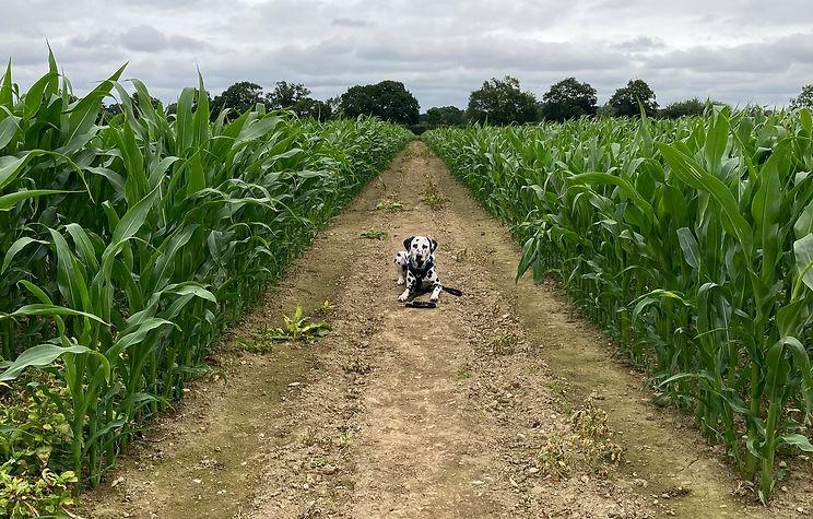 Deag dog lying in a corn field