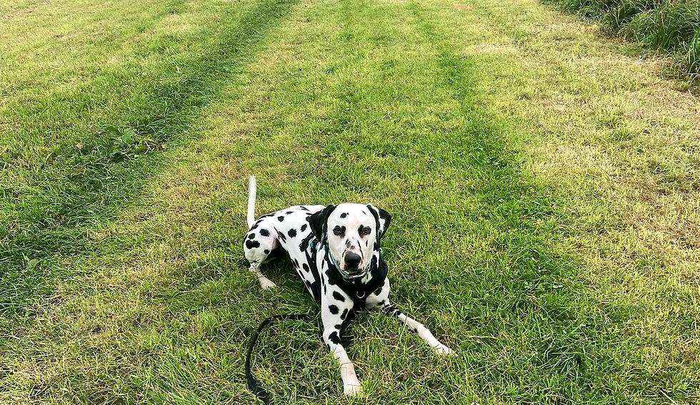 Deaf dog in field