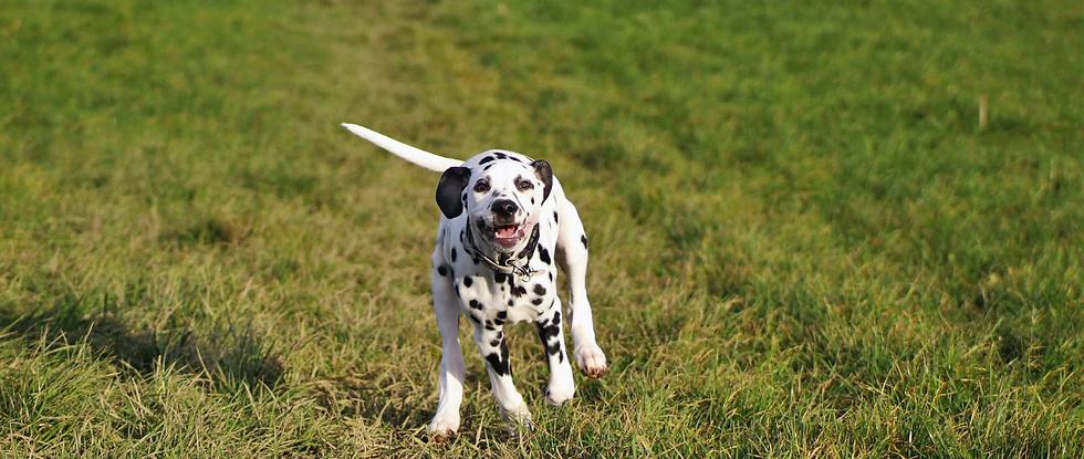 Deaf Dalmatian Puppy