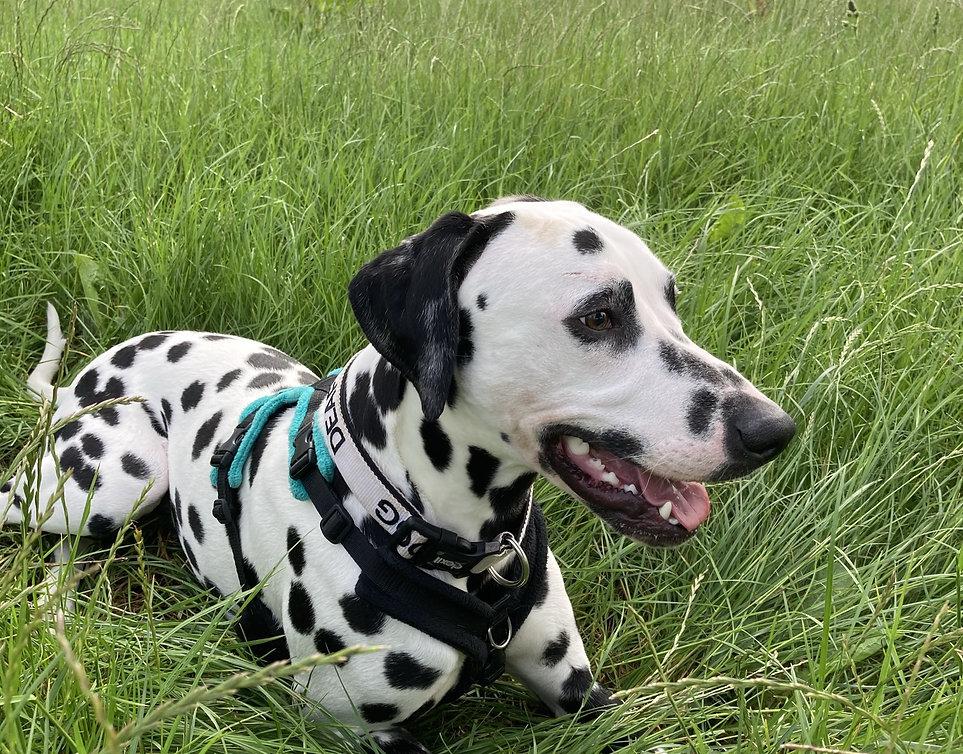 Deaf Dalmatian on walks