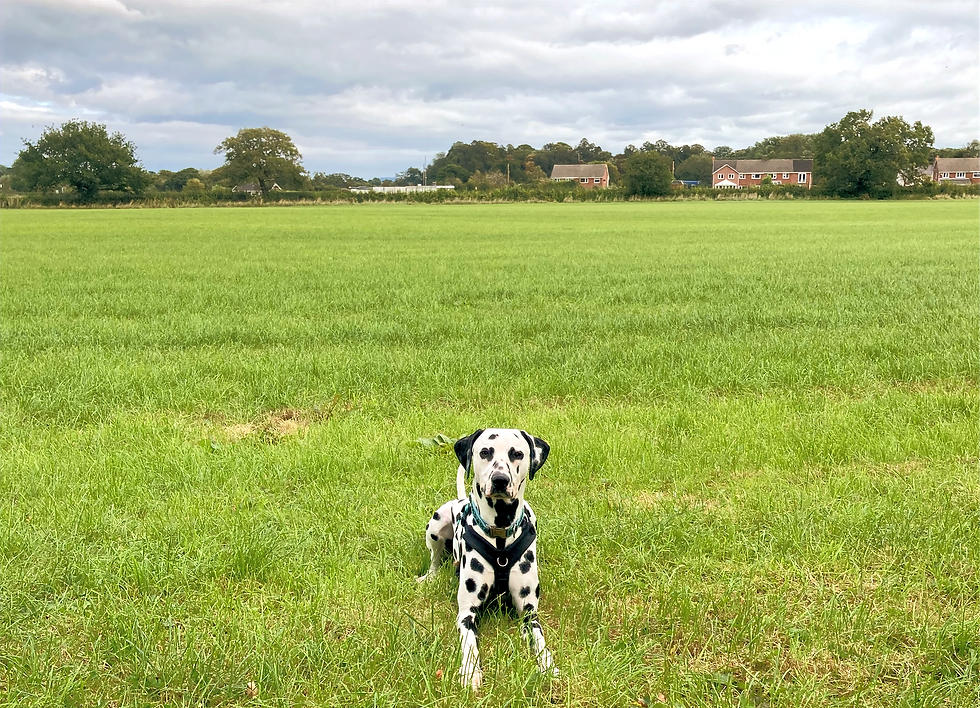 Deaf dalmatian in field