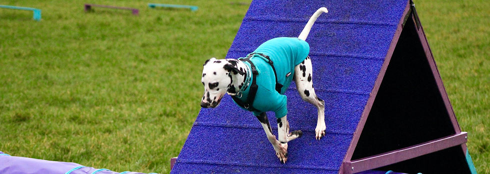Deaf dog agility