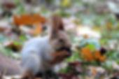 red-squirrel-2353145_1920.jpg