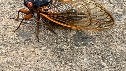 3 lessons from cicadas