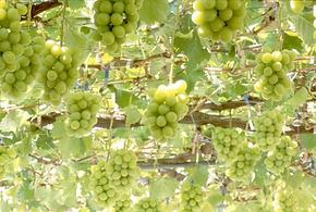 高級フルーツ販売専門店フジパルコ 葡萄・桃 日本一の生産量を誇る山梨県に本社をおく。今人気急上昇の超高級フルーツ取扱店舗として全国展開中