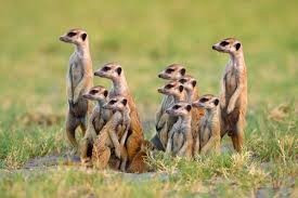 Why Meerkats make rubbish story-tellers