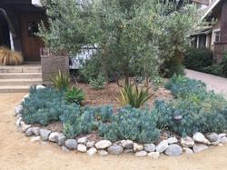 Multi-trunk olive tree planter