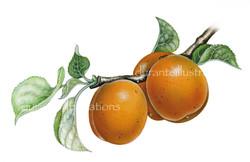 albicocca