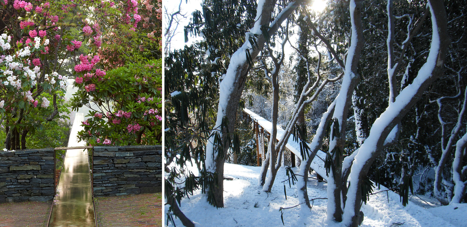 Preserved Iconic Rhododendron