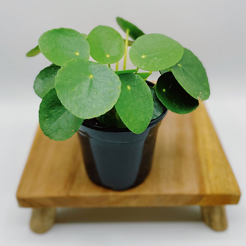 Chinese Money Plant (4 in.)
