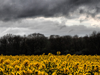 Rapeseed yellow