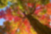 Chêne d'automne.png