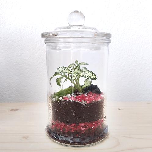 Mini terrarium - Fittonia