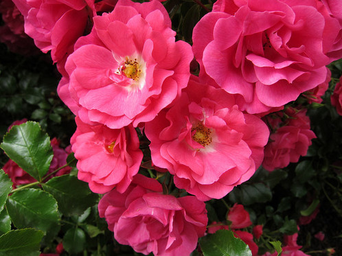 Flower carpet pink supreme ground cover rose with bright pink flowers and white centres compact and dense bush with rich glossy dark green foliage strong disease resisatnt mightylinksfo