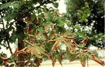 Bacterial Leaf Scorch.JPG