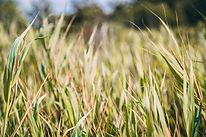 Summer Grass.jpg