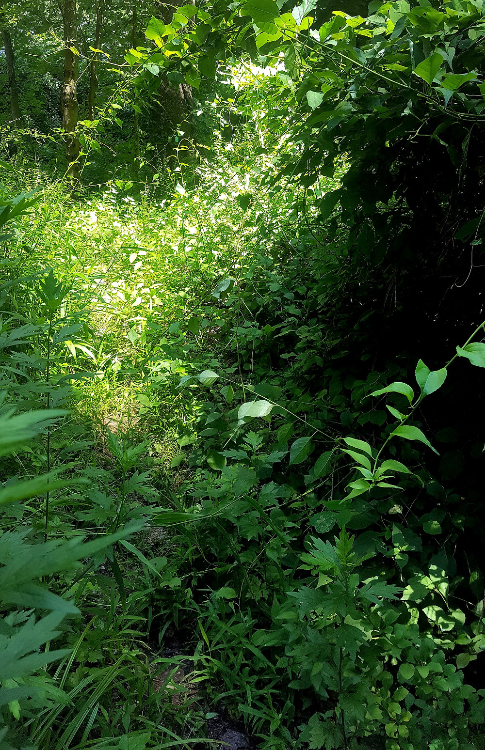 Intense overgrowth on the Long Path