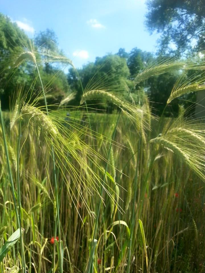 Jardin de céréales