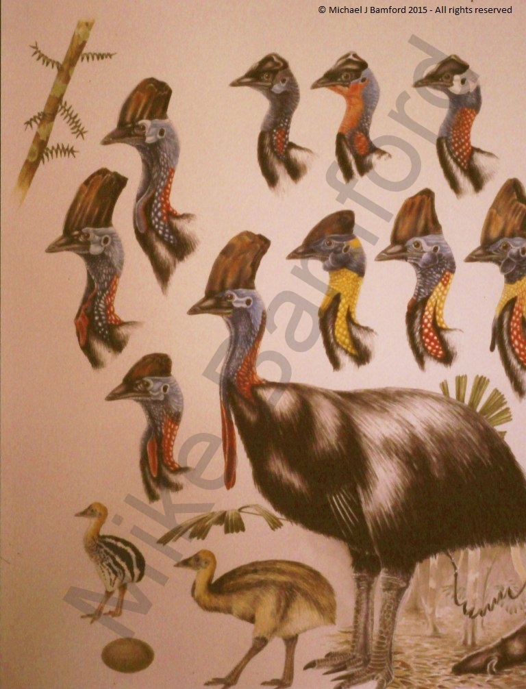 Cassowary - M. J. Bamford