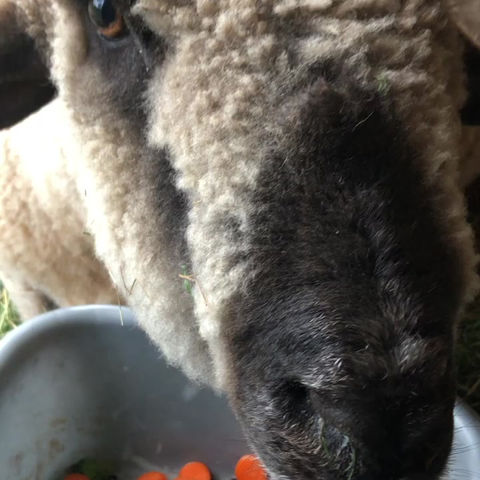 Sheep Are So Fussy!