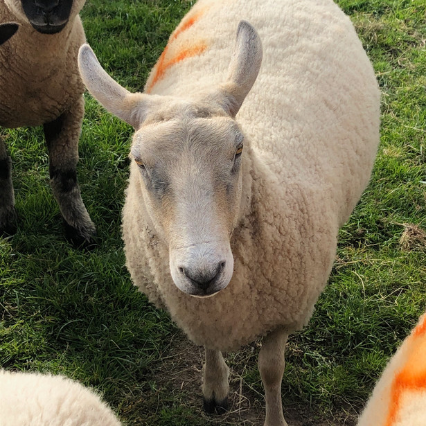 House Lamb
