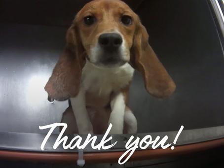 Beagles Rescued!