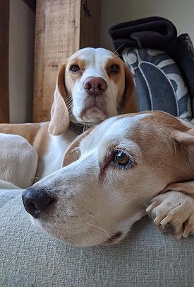 """Vegan Happy Beagle """"Poppy"""""""