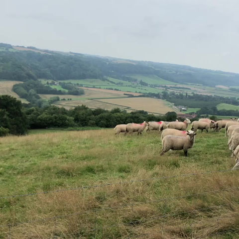 A Walk With The Sheep!