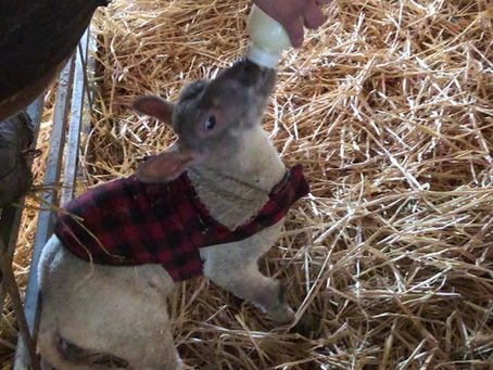 SPEND EASTER WATCHING THE LAMBS GET THEIR BOTTLES...