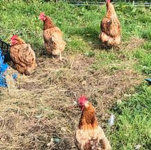 Greedy Chickens