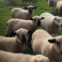Flock of Teddies