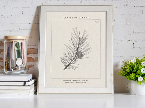 Leaves of Canada - The Lodgepole Pine of Alberta Print