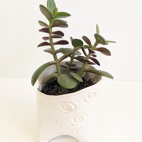 Radical Wondering - Swirly Ceramic Pot with Jade Plant
