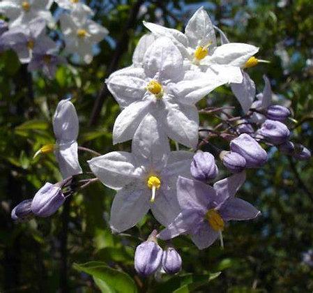 Le Solanum Jasminoides