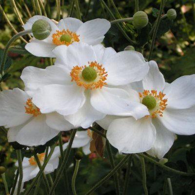 L'Anémone du Japon blanche