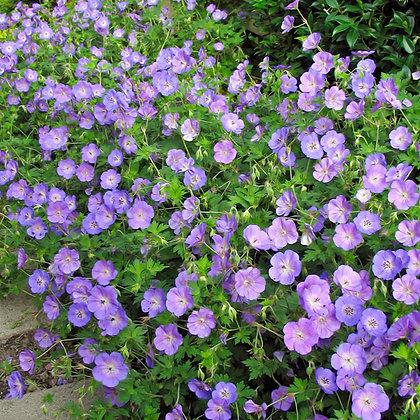 Le Géranium Jonhson's blue