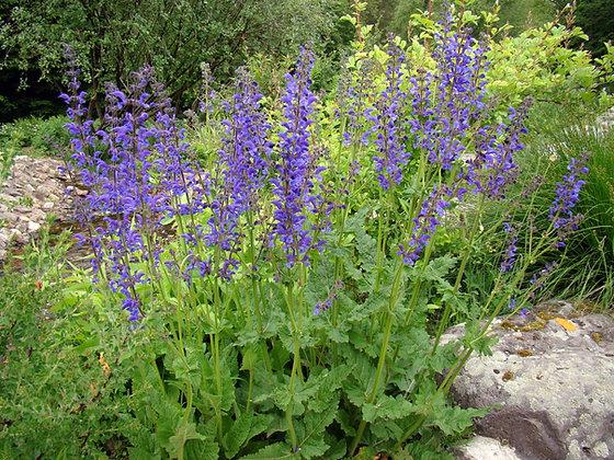 La Salvia Pratensis
