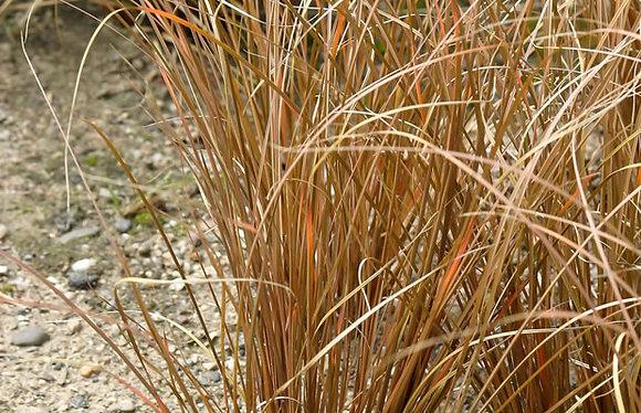 Le Carex Bronze
